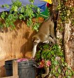 Der Affe der wild lebenden Tiere, der Lebensmittel von der Plastiktasche isst, schloss zum Abfall, Brunei Stockfotografie