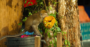 Der Affe der wild lebenden Tiere, der Lebensmittel von der Plastiktasche isst, schloss zum Abfall, Brunei Stockbilder