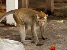 Der Affe der wild lebenden Tiere, der Lebensmittel von der Plastiktasche isst, schloss zum Abfall, Brunei Stockfoto