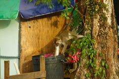 Der Affe der wild lebenden Tiere, der Lebensmittel von der Plastiktasche isst, schloss zum Abfall, Brunei Stockbild