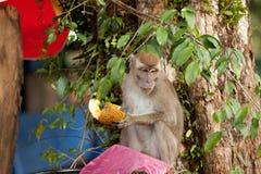 Der Affe der wild lebenden Tiere, der Lebensmittel von der Plastiktasche isst, schloss zum Abfall, Brunei Lizenzfreies Stockbild