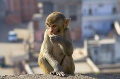 Der Affe des wilden Tieres ein Makaken in Indien Lizenzfreie Stockfotografie