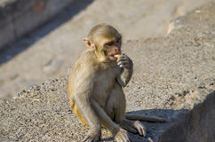 Der Affe des wilden Tieres ein Makaken in Indien Lizenzfreies Stockfoto