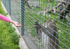 Der Affe in einem Zookäfig dehnt eine Tatze für Lebensmittel aus Lizenzfreie Stockfotos