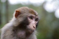 Der Affe erwägen Stockbild