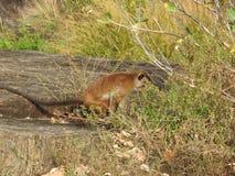 Der Affe genie?t einen Tag in den H?hlen von Dambulla in Sri Lanka stockbild