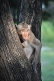 Der Affe haftet heraus (die Zunge) Stockbild