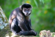 Der Affe im Dschungel Stockbild