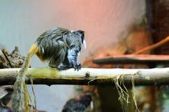 Der Affe im Garten spielt auf dem Baum Callithrix geoffroyi Lizenzfreie Stockbilder