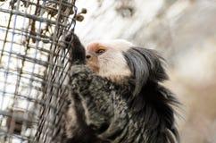 Der Affe im Garten spielt auf dem Baum Callithrix geoffroyi Lizenzfreies Stockbild