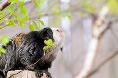 Der Affe im Garten spielt auf dem Baum Callithrix geoffroyi Stockbilder