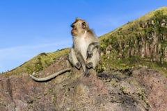 Der Affe im wilden, Vulkan Batur Bali-Insel, Indonesien 2000 Meter über Meeresspiegel Lizenzfreies Stockfoto