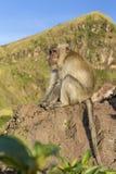 Der Affe im wilden, Vulkan Batur Bali-Insel, Indonesien 2000 Meter über Meeresspiegel Stockfoto