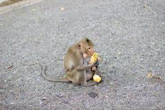 Der Affe isst Banane und Babyaffe ist Trinkmilch Stockfotos