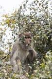 Der Affe isst Baumfrüchte Stockfoto