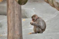 Der Affe isst die Festlichkeit Lizenzfreie Stockfotografie
