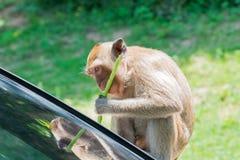 Der Affe isst die langen Bohnen Lizenzfreies Stockbild
