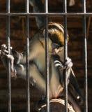 Der Affe ist hinter Gittern Lizenzfreie Stockfotos