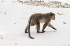 Der Affe ist im Sand auf vier Beinen Stockfotos