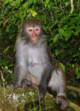 Der Affe-König Staring an den Besuchern Lizenzfreies Stockfoto