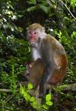 Der Affe-König Staring an den Besuchern lizenzfreie stockfotografie