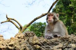 Der Affe-König Staring an den Besuchern stockfotografie