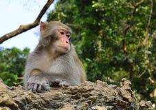 Der Affe-König Staring an den Besuchern Lizenzfreie Stockfotos