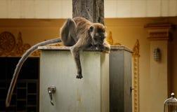 Der Affe langweilt sich Stockfotografie