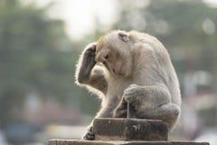 Der Affe leben in der Stadt Stockfoto