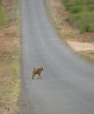 Der Affe lief über die Straße. Stockfoto