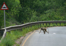 Der Affe lief über die Straße. Tansania, Afrika. Stockbilder