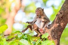 Der Affe (Makaken Krabbe-essend) essend verlässt auf Baum Lizenzfreie Stockfotografie