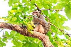 Der Affe (Makaken Krabbe-essend) essend verlässt auf Baum Lizenzfreie Stockfotos
