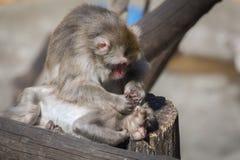 Der Affe säubert ein Ohr zu einem Jungen Stockbilder