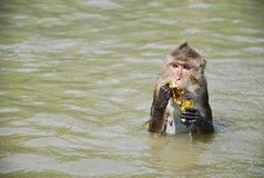 der Affe sind essen Banane im Fluss Stockfoto