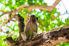 der Affe sitzt auf dem Baum und schaut Stockfoto