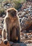 Der Affe sitzt auf den Felsen Lizenzfreie Stockfotos