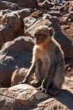 Der Affe sitzt auf den Felsen Stockbild