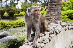 Der Affe sitzt auf einem Felsen Lizenzfreie Stockbilder
