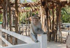 Der Affe sitzt auf einem weißen Zaun und betrachtet etwas, Lizenzfreie Stockfotografie