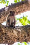 Der Affe sitzt auf einer starken Niederlassung eines Baums und schaut irgendwo Lizenzfreies Stockfoto