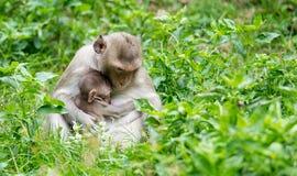 Der Affe sitzt, um sein Baby von der Brust einzuziehen Lizenzfreie Stockfotografie