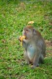 Der Affe sitzt und isst Banane Lizenzfreies Stockbild