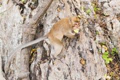 Der Affe sitzt und isst Banane Lizenzfreie Stockbilder
