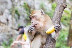Der Affe sitzt und isst Banane Stockfotografie