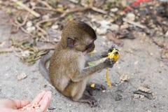 Der Affe sitzt und isst Banane Stockbilder