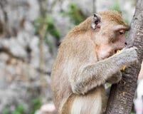 Der Affe sitzt und isst Banane Stockfoto