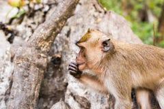 Der Affe sitzt und isst Banane Lizenzfreie Stockfotografie