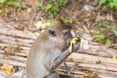 Der Affe sitzt und isst Banane Stockbild