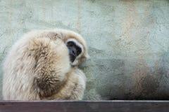 Der Affe sitzt und schaut traurig Stockbild